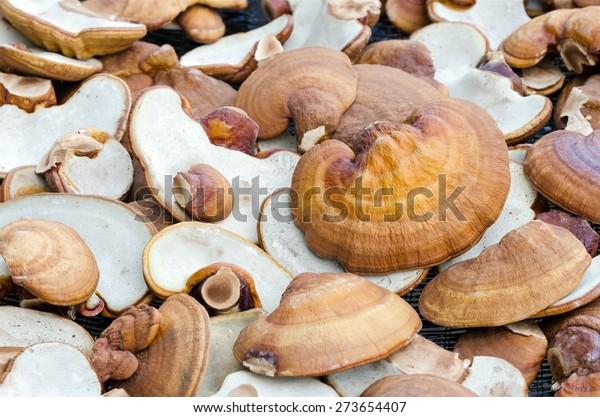 Lingzhi mushrooms Ganoderma Lucidum,the product of mushroom farm from Thailand