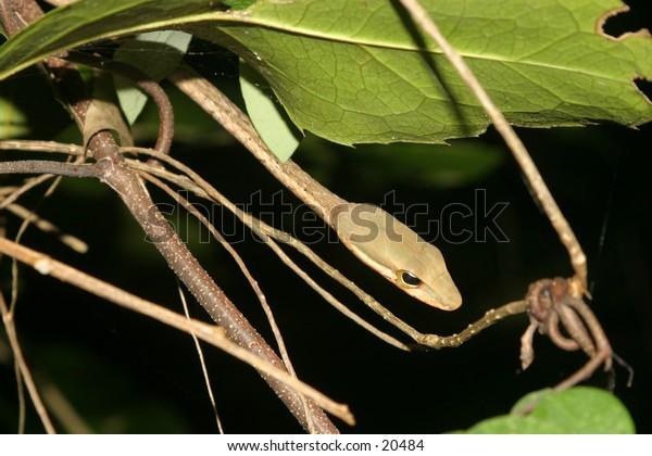 Link marked Sand Snake Psammophis biseriatus