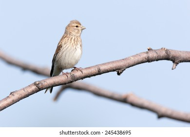 Linnet (Acanthis cannabina).Wild bird in a natural habitat.