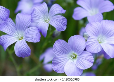 Linum is blooming ina meadow, close up