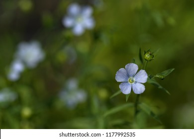 Linum (flax) flower on the green blured background