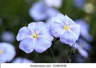 Linum perenne (perennial flax, blue flax or lint)