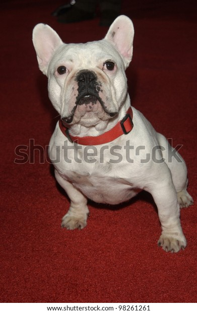 Linus Dog Hollywood Premiere His New Stock Photo (Edit Now) 98261261