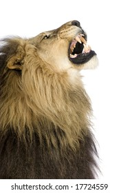 Lion (4 and a half years) - Panthera leo in front of a white background