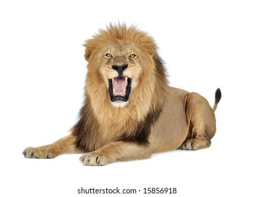 Lion (8 years) - Panthera leo in front of a white background