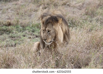 Lion about to stand up in the Serengeti