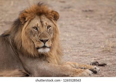 Lion, Africa, wild animals