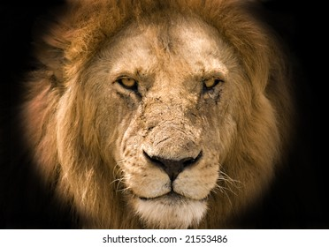 Lion against a black background