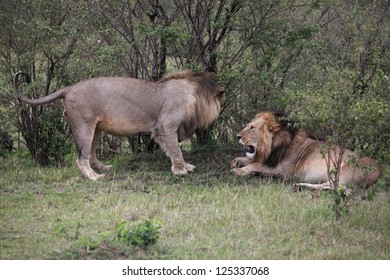 Lion approaching another male lion in The Maasai Mara National Reserve in Kenya, Africa.