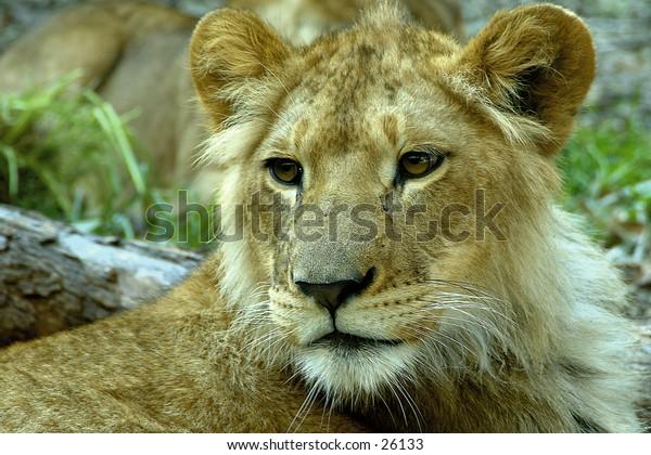 Lion in Australia