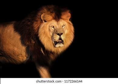 Lion Berber on a black background. Wild hungry animal. Photo from animal world.  Portrait face lion.