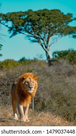 lion, big five in Africa