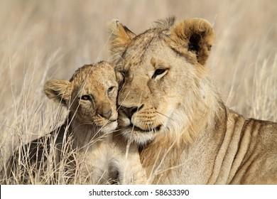 Lion bigbrother babysitting cub, Serengeti, Tanzania