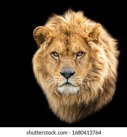 Lion with a black background