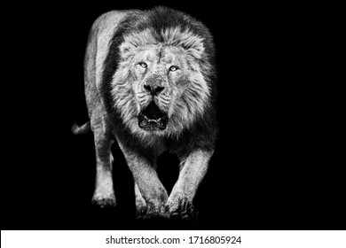 Lion with a black Background in B&W