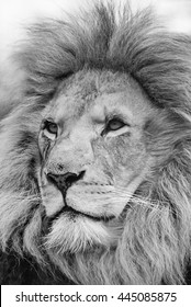Lion black and white head shot