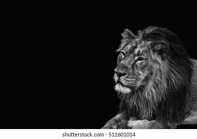 Lion, black and white head shot of an adult Lion. King of all animals.