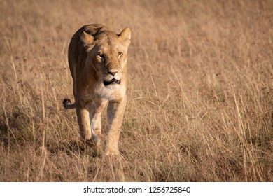 Lion in bright sunshine walking on savannah