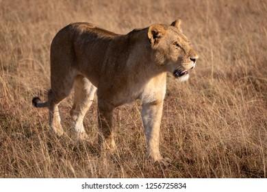 Lion in bright sunshine walks on savannah
