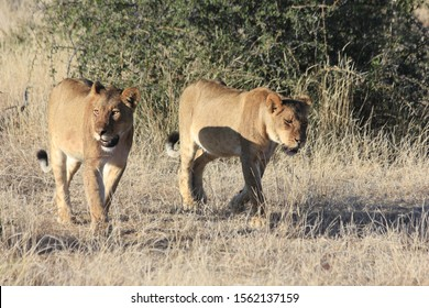 Lion brothers walk together through botswana
