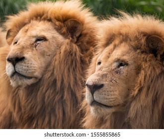 Lion brothers in Zoo at Tasmania