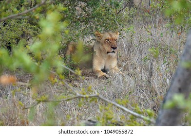 Lion in brush at Kruger National Park in South Africa