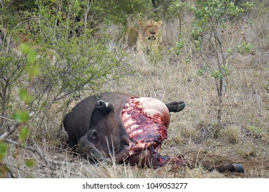 Lion and Buffalo Carcass at Kruger National Park in South Africa