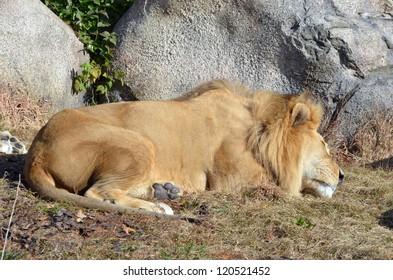 Lion by rock