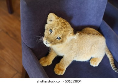 Lion calf looks up and stands on soft armchair indoor, top view