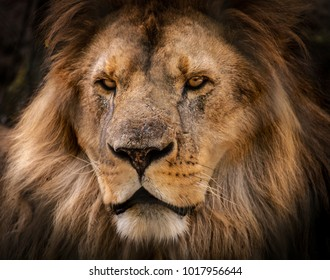 A lion close up
