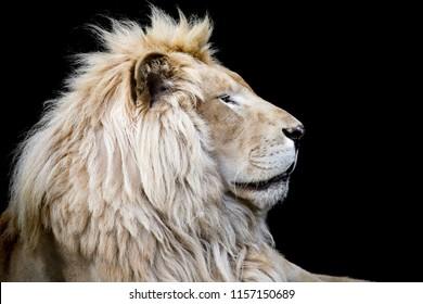 lion closeup image