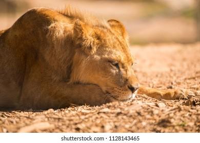 Lion closeup portait