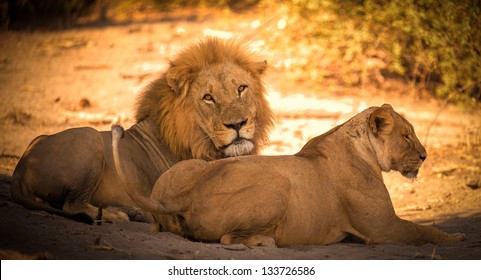 Lion couple after mating in Africa close up