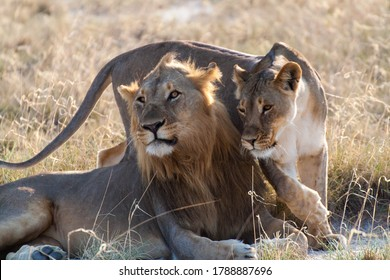 Lion couple in Namibia´s Etosha National Park