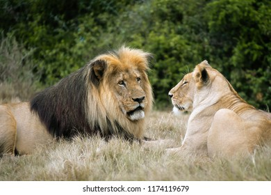 Lion couple lazing in the afternoon heat