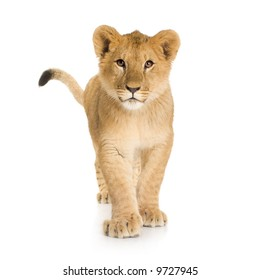 Lion Cub (6 months) in front of a white background