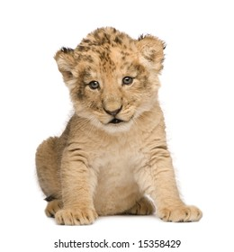 Lion Cub (6 weeks) in front of a white background