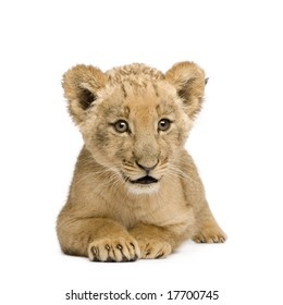 Lion Cub (8 weeks) in front of a white background