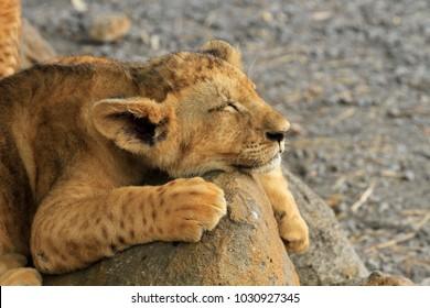 Lion cub, Casela Nature Park, Mauritius
