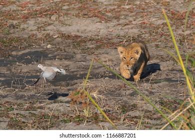 Lion Cub Chasing Dove, Savuti Marsh, Botswana