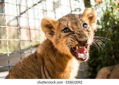Lion cub and children in lion park Taigan, Crimea, Russia