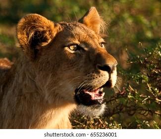 Lion Cub Close up