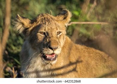 Lion cub close-up