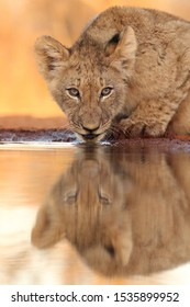 Lion cub drinking and looking at you