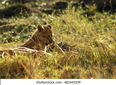 lion cub during dusk