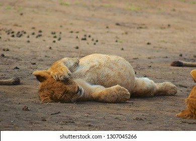 Lion cub eat too much and having a food coma on African Safari