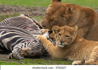 Lion with cub eating a Zebra