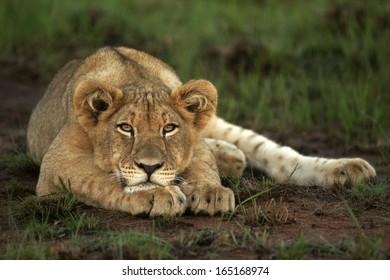 Lion cub eye level