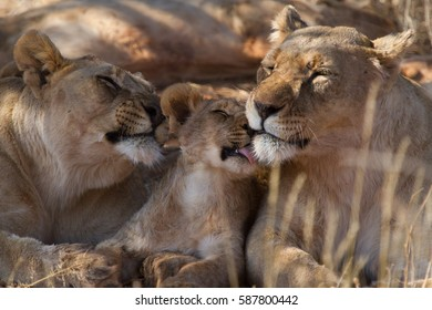 Lion Cub getting plenty of attention at Madikwe Game Reserve