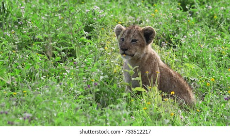 Lion cub in the grass in the Ngorongoro Crater, Tanzania